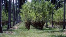 gliricidia-grown-on-ray-wijewardenes-coconut-estate-in-kakkapalliya